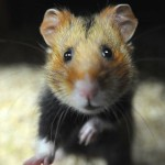 Sauvons le Grand Hamster d'Alsace !