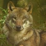 L'exceptionnelle Nuit du loup